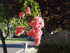 Crepe Myrtle flowering outside my front door.